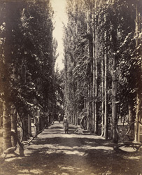 Avenue of vines & poplars, Srinuggur, Cashmere.